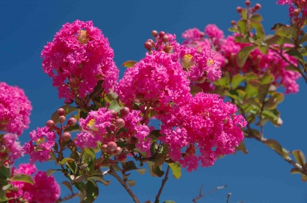 Top Flowering Trees List Picture