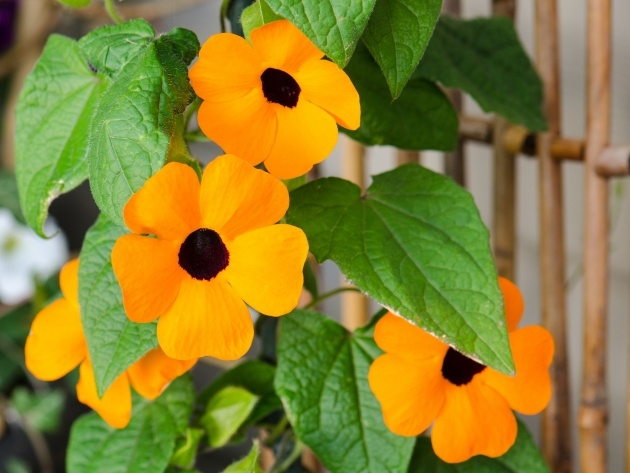 Top Hanging Perennials Flowers For Containers Picture