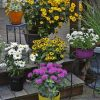 Hanging Perennials Flowers For Containers