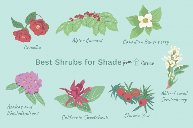 Wonderful Tall Shrubs For Shade Picture